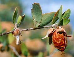 Jojoba | WondersFromNature.comWondersFromNature.com | Mother Nature Gives Us Her Gifts