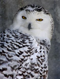 Snowy Owl: The scientific name for the snowy owl is Nyctea scandiaca Snowy owls range in size from 20 to 28 inches (52 to 71 centimeters). Their wingspan (from wingtip to wingtip) is 4.2 to 4.8 feet (1.3 to 15. meters). In the wild, snowy owls generally live for about 9.5 years. In captivity, they can live 35 years.