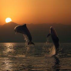 Dolphins at sunset.my favorite sea creatures Florida Vacation, Florida Travel, Florida Beaches, Vacation Spots, Mundo Animal, Destin Beach, Destin Florida, Ocean Life, Sea Creatures