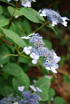 Hydrangea 'Blue Billow' in Elizabeth Lawrence's garden.