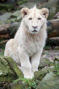 Bear Cubs, Grizzly Bears, Tiger Cubs, Tiger Tiger, Bengal Tiger, Big Cats, Cool Cats, Beautiful Cats, Animals Beautiful