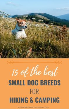 The adventurous life shouldn't be reserved for bid dogs only. There are plenty of small dogs that make great adventure companions. Not taking these active breeds hiking or camping would almost be a shame. Best Small Dogs, Big Dogs, Best Dog Breeds, Small Dog Breeds, Hiking Dogs, Companion Dog, Dog Activities, Dog Runs, Pet Travel