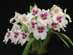 external image miltonia-ceo-apple-2.jpg