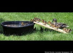 """Baby Duckling Swim TimeIn this Wednesday, May 25, 2011 photo, baby ducklings climb up a board ramp to access their """"pond"""" that was made for swimming in the inner courtyard of St. Anne's Retirement Community near Lancaster, Pa. The ducklings have been entertaining the residents of the retirement community with their antics."""