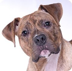 American Pit Bull Terrier/Boxer Mix Dog for adoption in Chicago, Illinois - Austin. Adorable Puppy.