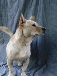 Jerry is an adoptable Corgi Dog in Murrieta, CA. This is Jerry he came in with Ben. Both are very friendly however it does seem like Jerry likes to follow Ben. It would be great if I can get them both...