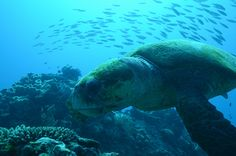 Loggerhead turtle: Five Ways to Experience the Great Barrier Reef, Queensland Australia