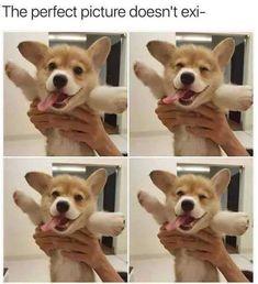 Dog Memes Of The Day 32 Pics – Ep43 #dogs #dogmemes #lovelyanimalsworld - Lovely Animals World Corgi, Corgis