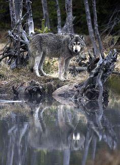 sharpbriar:  sisterofthewolves:  By Steve Courson