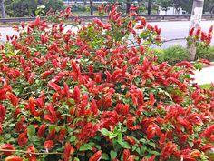 Camarão-rosa – Justicia scheidweileri - Camarão-rosa com a sua bela folhagem e flores espectaculares, ela pode ser utilizada como arbusto em canteiros protegidos, como forração em bosques