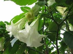 Gorgeous Angel Trumpet flowers