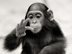 Bonobo. | www.tintinian.be Only the stupid need organization… | Flickr