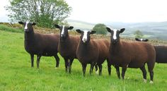 The Zwartbles are relatively large sheep: ewes weigh an average of 85 kg (190 lb), and rams 100 kg (220 lb). The dense fleece ranges from black to brown with sun bleached tips, some silvering maybe present in older animals. The wool is medium to fine with excellent crimp and fibre length, a Bradford count of 54-56 and a micron count of 27 making it popular for spinning and felting