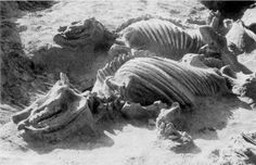 Ashfall Fossil Beds State Historical Park, Nebraska Fossilized complete skeletons of the rhino Teleoceras. More than a hundred such skeletons in similar state of preservation have been excavated from this fantastic site.