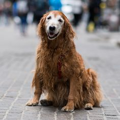 """Bijou, Golden Retriever (16 y/o), Wall & Broad St., New York, NY • """"She's deaf and has survived cancer twice. She's a miracle dog. I've had her since she was 8-weeks-old and the average age for a Golden is 11-12. I want her to make it to 18 so I can make fun of her for not getting into college."""""""