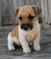 Jack Russell Terrier puppy pictures.