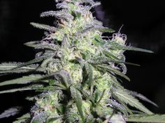 Not Ready to Harvest - Purple Marijuana Buds Cannabis Growing, Cannabis Plant, Humboldt County, Just Girl Things, Smoking Weed, Medical Marijuana, Diy Projects To Try, Pretty Flowers, Bud