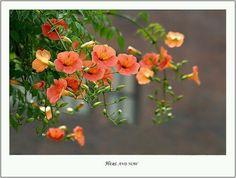 능소화. Sweet Violets, Climbing Vines, Blossom Flower, Abstract Flowers, Orange Flowers, Climbers, Fabric Art, Botany, Beautiful Flowers