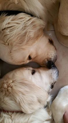 Eye to eye #Golden #Retrievers