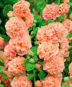 Malwa różowa - Pink - 1 szt. - Sklep Świat Kwiatów | Dostawa gratis!