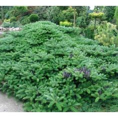 Korėjinis kėnis (Abies koreana) 'Green Carpet'