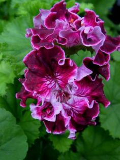 Pelargonium 'Marchioness of Bute'