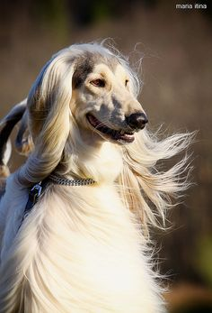 Afghan Hound Dogs