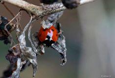 Zevenstippelig Lieveheersbeestje  (Van vroegevogels)