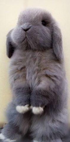 /(>'.'<)\cute grey bunny