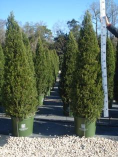Juniper, Green Column (Hetz Column) - Privacy & Hedges - Plants - TheTreeFarm.com