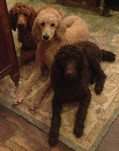 Standard Poodle x 3  -  Can we go out and play