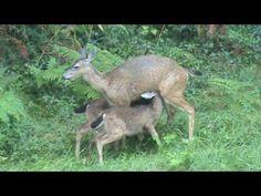 Mama deer feeding breakfast - YouTube