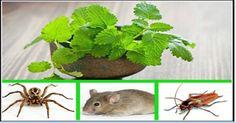 si usted tiene esta planta en su casa, usted nunca volverá a ver ratones, arañas y otros insectos!! | Salud con Remedios