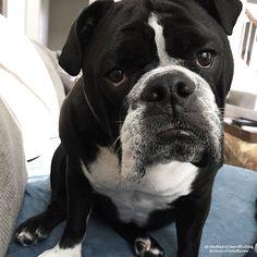"""I am worn out from last night!! Today is spa day.. Bath, Nails, Massage, and Blueberry Facial My mommy spoils me☺️ #oreothedoublestuffbulldog #englishbulldog #thebullysquad #TheWorldOfBullies #teambuttcup #instadog #instadogbreeds #igbulldogs_indiana #igbulldogs_worldwide #fatheadcrew #best_ig_petz #petstagram #adorabull #squishyfacecrew #DogCrushDaily #dogsandpals #dogsofinstagram #featuredbullies #HippopotabullyBuddy #cutestdoggys #meatballentourage #bullypics #bullylifetv #bulldogmoments…"