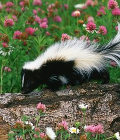 """Skunk / """"I'm a sweet creature of nature, if left alone. A smelly one if bothered. Beautiful Creatures, Animals Beautiful, Getting Rid Of Skunks, Baby Animals, Cute Animals, Animal Babies, Small Animals, Wild Animals, Funny Animals"""