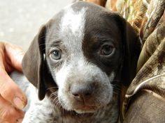 german shorthaired pointers | German Shorthair Pointer Puppy | German shorthaired pointers