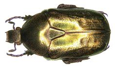Family: Scarabaeidae Size: 18-21 mm Distribution: southern Central Europe, Western Europe, Southern Europe Location: Italy, Abruzzo, Scanno, 1966 Photo: U.Schmidt, 2006