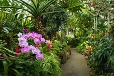 Phipps will once again enliven winter with colorful orchids and tropical bonsai…