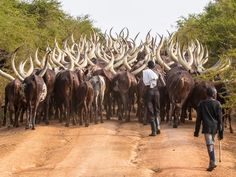While en route to Lake Mburo in Uganda, we paused in the road to let a local herder pass with a number of beautiful Ankole cattle. Their horns can measure up to eight feet from tip to tip. National Geographic Photography, National Geographic Photos, We Are The World, Wonders Of The World, Wildlife Biologist, Livestock Farming, Creature Feature, Circle Of Life, Farm Yard