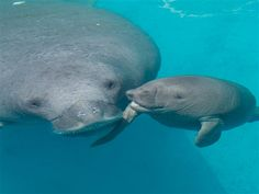 Rescued manatee gives birth at SeaWorld...a Mother's love...