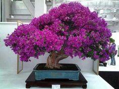 Buganville-bonsai