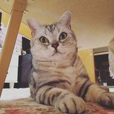 . おはよう〜😺☀ 今日は姪っ子Dayです🙌 なのに頭が痛いのが治らない🌀 バロンさん少しシャープになったと 思ったんやけど‥気のせいでした🤗  #猫のいる暮らし #バロンさん #アメリカンショートヘアー #アメショー #ねこ部 #CATS #にゃんすたぐらむ #cat #catstagram #愛猫 #にゃんこ #シルバータビー #グリーンアイ