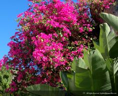 Bougainvillea flowers grow wildly around St. John... enjoy the beauty of the island in one of our amazing villas and have a time you will never forget!