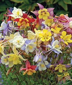 """Columbine, Quetzal Mix  Three to 4"""" flowers cover vigorous plants in all shades, including white, cream, yellow, pink, rose, red, lavender, blue and some bicolors.  Zone: 3-8    Sun: Full Shade, Part Sun    Height: 30-36  inches  Spread: 18  inches  Uses: Borders, Cut Flowers    Sowing Method: Indoor Sow    Bloom Season: Spring, Summer    Resistant To: Deer, Disease, Pests, Rabbit"""