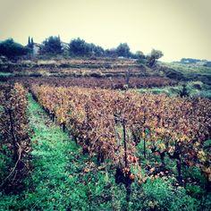Wintery Bellet Vineyards south of france