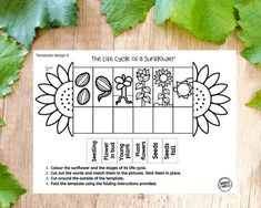 Plant Crafts, Plant Projects, Plant Lessons, Science Lessons, Life Cycle Stages, Cycle Of Life, Sunflower Life Cycle, Cycle For Kids, Life Cycle Craft