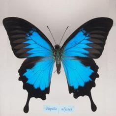 アゲハ蝶科標本 , 蝶の標本 販売・通販のNatureShop|モルフォやキプリスモルフォオオル リアゲハ