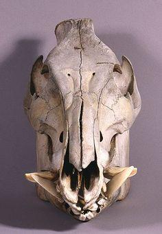 Will's Skull Page - Wild Boar Skull