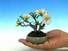 Membrillo, bonsai enano