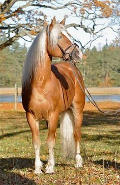 Beautiful Palomino